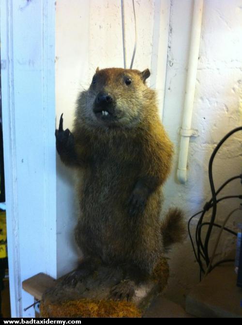Impolite Groundhog